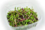 Multicolor Microgreens Mix: Darkest Opal Basil, Tatsoi, Amaranth, Red Mustard, Arugula, Celery, Cilantro, Sunflower, Wheat berries, our special Micro Mix blend, Collards, Kohlrabi, Red Cabbage, Red Basil, Green Basil, Mizuna...just ask!