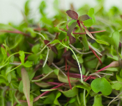 The Finest Quality and Flavor Tender Microgreens Nanogreens Custom Blends and specialty Garnishs