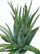 Full Aloe Leaves